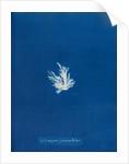 Ectocarpus fascieulatus by Anna Atkins