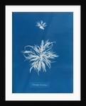Ectocarpus teomentosus by Anna Atkins