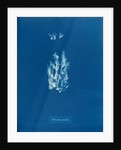 Ectocarpus pusillus by Anna Atkins