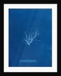 Ecrocarpus granulosus by Anna Atkins