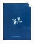 Ectocarpus spharophorus by Anna Atkins
