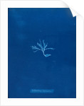 Ectocarpus brachiatus by Anna Atkins