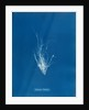Ectocarpus mertensii by Anna Atkins