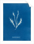 Myriotrichia filiformis by Anna Atkins