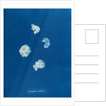 Corynephora marina by Anna Atkins