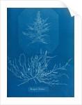 Mesogloia husdoni by Anna Atkins