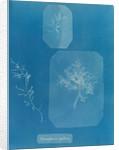 Gloiosiphonia capillaris by Anna Atkins