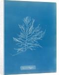 Naccaria wigghii by Anna Atkins