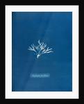 Halymenia furcellaria by Anna Atkins