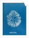 Halymenia furcellata by Anna Atkins