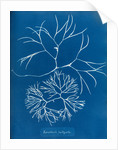 Furcellaria fastigiata by Anna Atkins