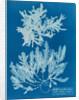Delesseria sinuosa by Anna Atkins