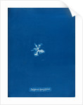 Delesseria hypoglossum by Anna Atkins