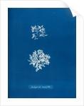Delesseria ruscifolia by Anna Atkins