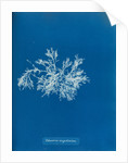 Delesseria angustissima by Anna Atkins