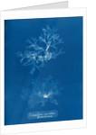 Nitophyllum punctatum & acellatum by Anna Atkins