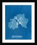 Nitophyllum ulvoideum by Anna Atkins