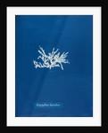 Nitophyllum laceratum by Anna Atkins