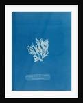 Nitophyllum laceratum & uncinatum by Anna Atkins