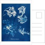 Rhodomenia Laciniata by Anna Atkins
