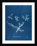 Rhodomenia polycarpa by Anna Atkins