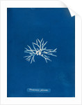 Rhodmenia palmetta by Anna Atkins