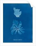 Rhodymenia reniformis by Anna Atkins