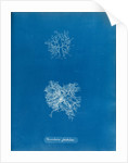 Microcladia glandulosa by Anna Atkins