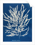 Odonthalia dentata by Anna Atkins