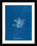Rhodomela pinastroides by Anna Atkins