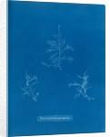 Bonnemaisonie asparagoides by Anna Atkins