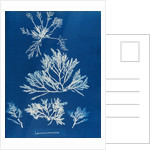 Pepper dulse by Anna Atkins
