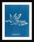 Prickly tang by Anna Atkins