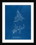 Laurencia dasyphylla by Anna Atkins