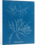 Laurencia tenuissima by Anna Atkins