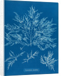 Chylocladia clavellosa by Anna Atkins