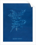 Juicy whorl weed by Anna Atkins
