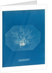 Chylocladia parvula by Anna Atkins