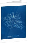 Gigartina purpurascens (in fruit) by Anna Atkins