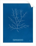 Gigartina purpurascens by Anna Atkins