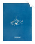 Gigartina erecta by Anna Atkins