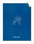 Gigartina teedii by Anna Atkins