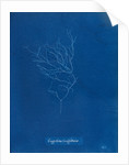 Gigartina griffithsiae by Anna Atkins