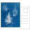 Gigartina plicata by Anna Atkins