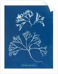 Chondrus mamillosus by Anna Atkins