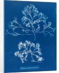 Chondrus membranifolius by Anna Atkins