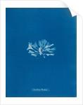 Chondrus brodiaei by Anna Atkins