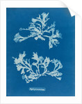 Phyllophora rubeus by Anna Atkins