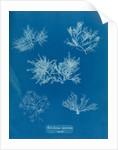 Gelidium corueum vars by Anna Atkins