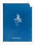 China moss by Anna Atkins